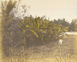 Plantain trees, [Madras]